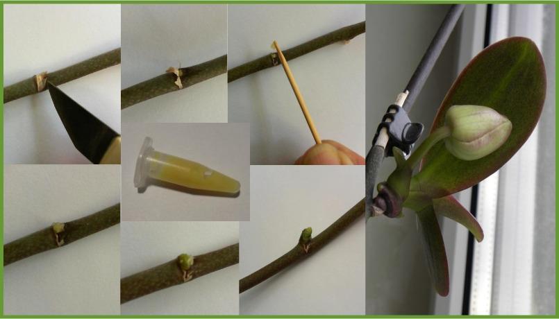 Размножение орхидей в домашних условиях цитокининовой пастой
