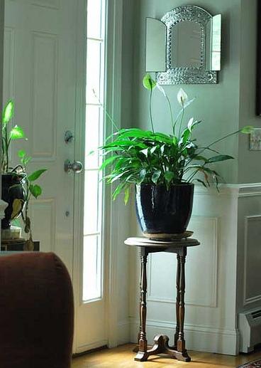 მითები ოთახის მცენარეთა მოვლის შესახებ