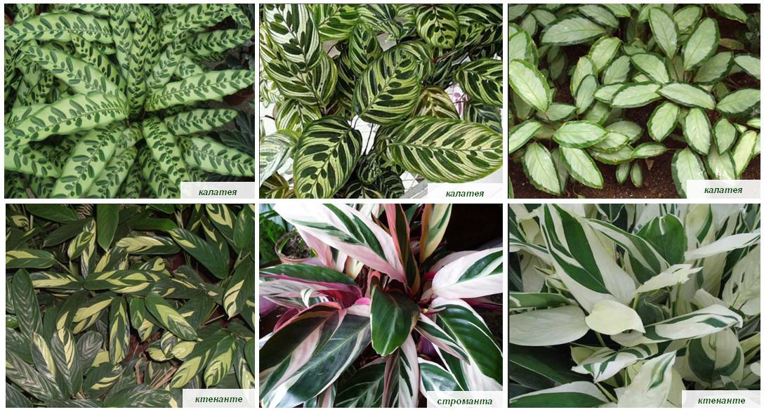 მცენარეები ფიტოკედლისთვის