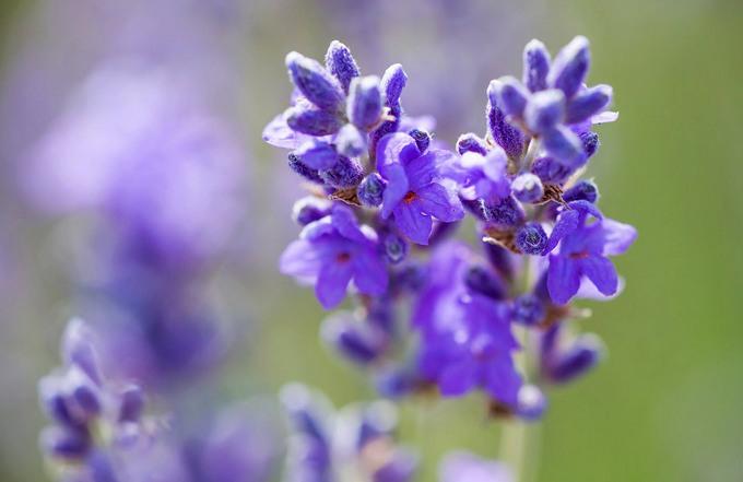 ლავანდა (Lavender)