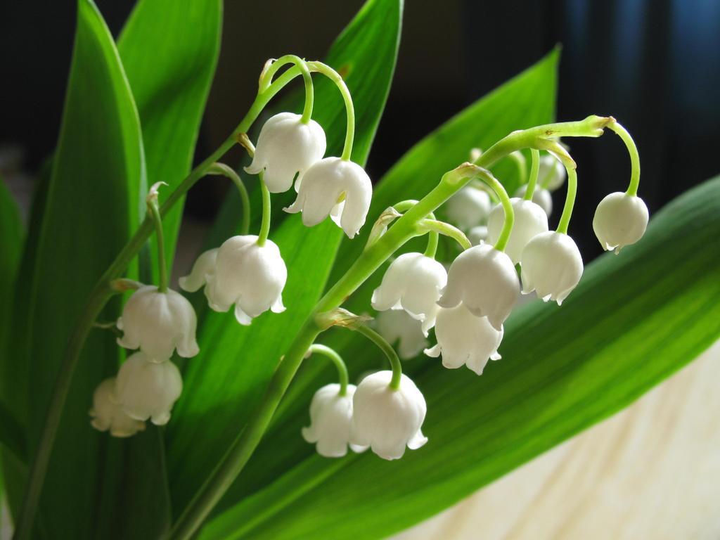 შროშანა - გაზაფხულის სიმბოლო