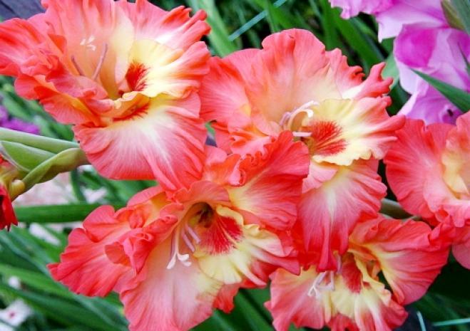 გაზაფხულზე დასარგავი ბოლქვიანი მცენარეები