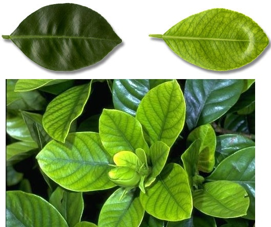 ქლოროზი და ბრძოლა მცენარეში რკინის ნაკლებობასთან