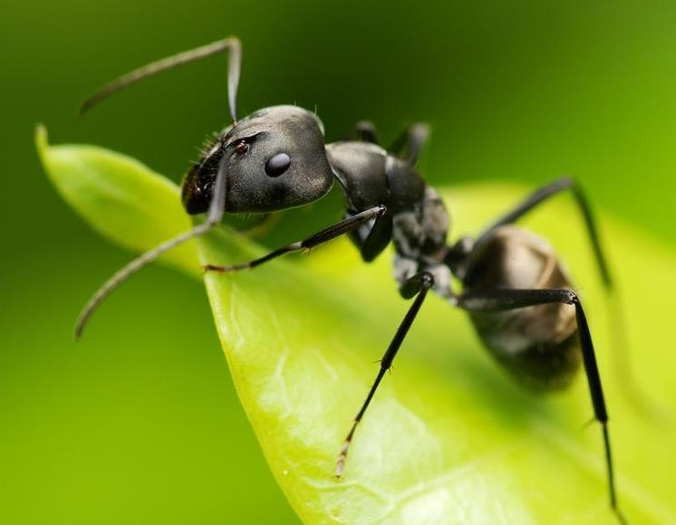 ვებრძვით ჭიანჭველებს ნაკვეთში