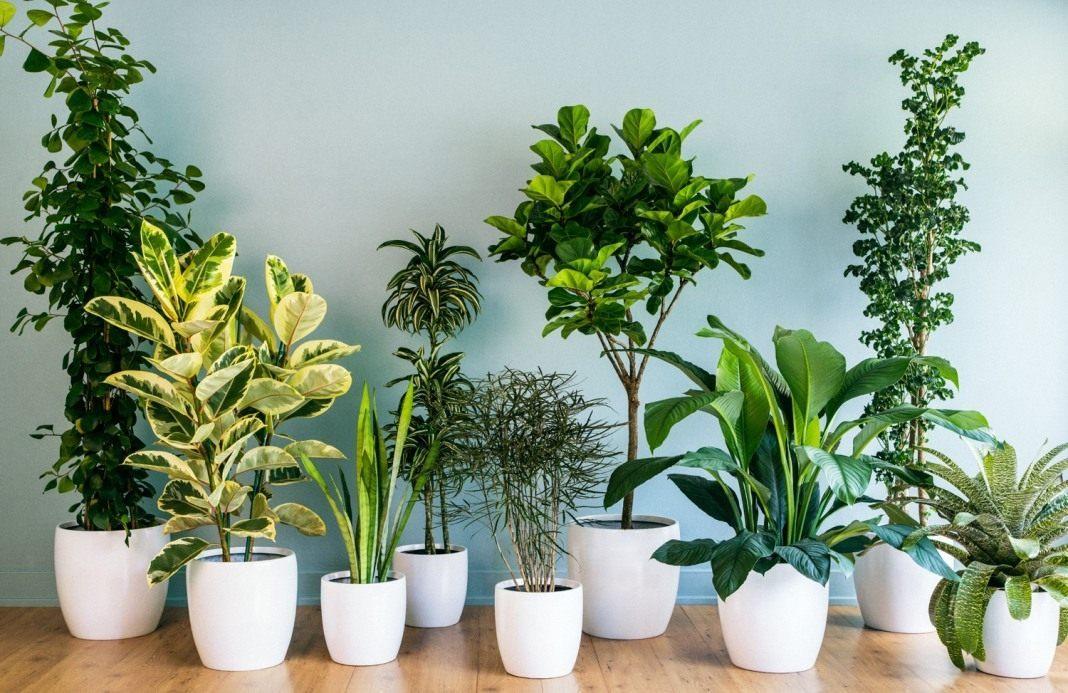 10 ყველაზე პოპულარული ოთახის მცენარე