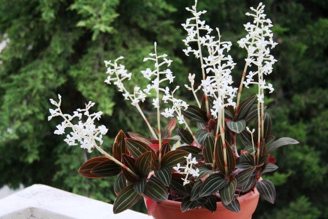 ორქიდეები დიდებული ფოთლებით  (драгоценные орхидеи)