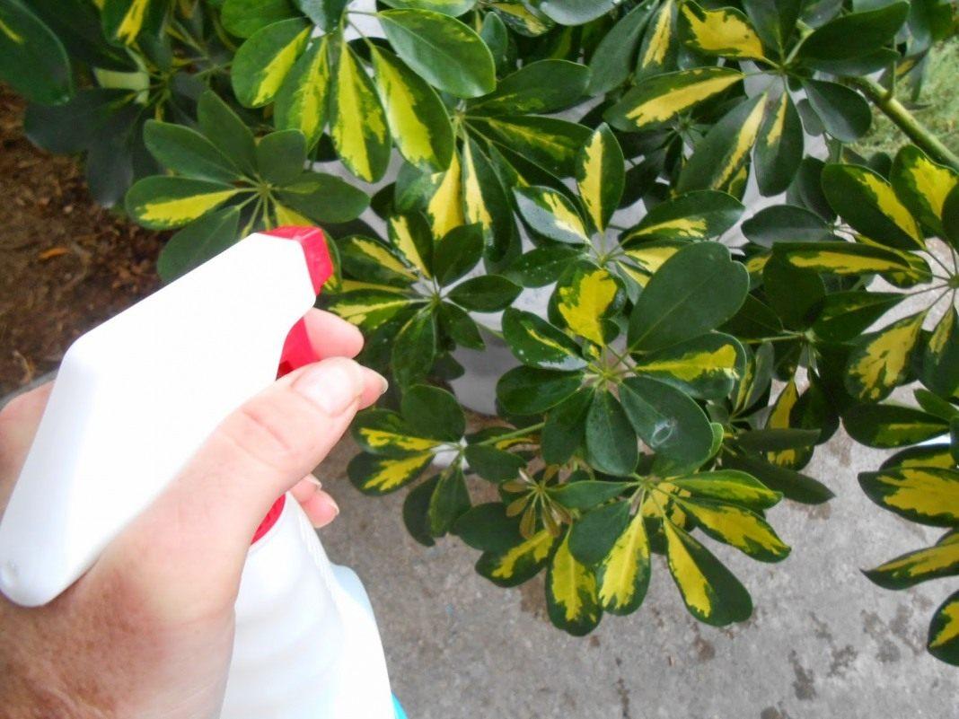 როგორ გავაპრიალოთ მცენარის ფოთლები