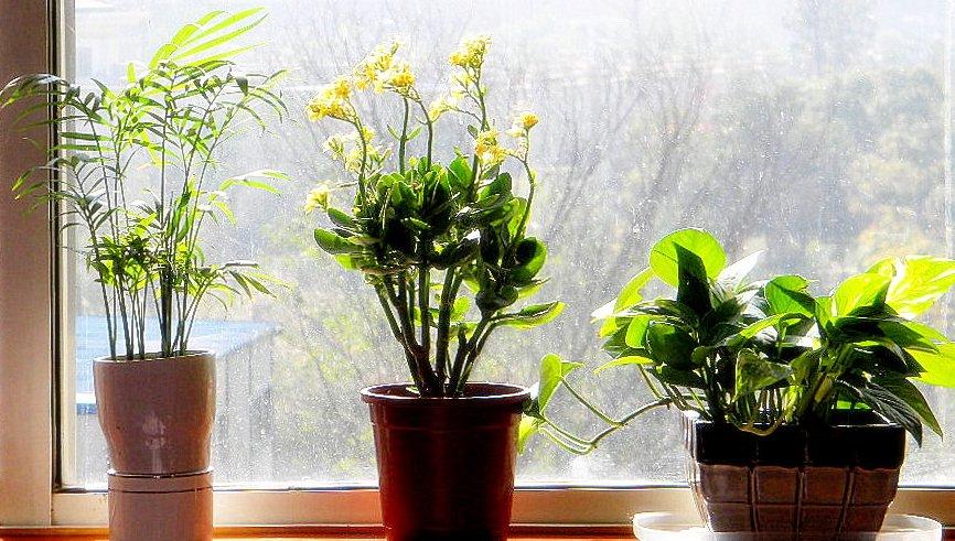 ყველაზე გამძლე და უპრეტენზიო ოთახის მცენარეები