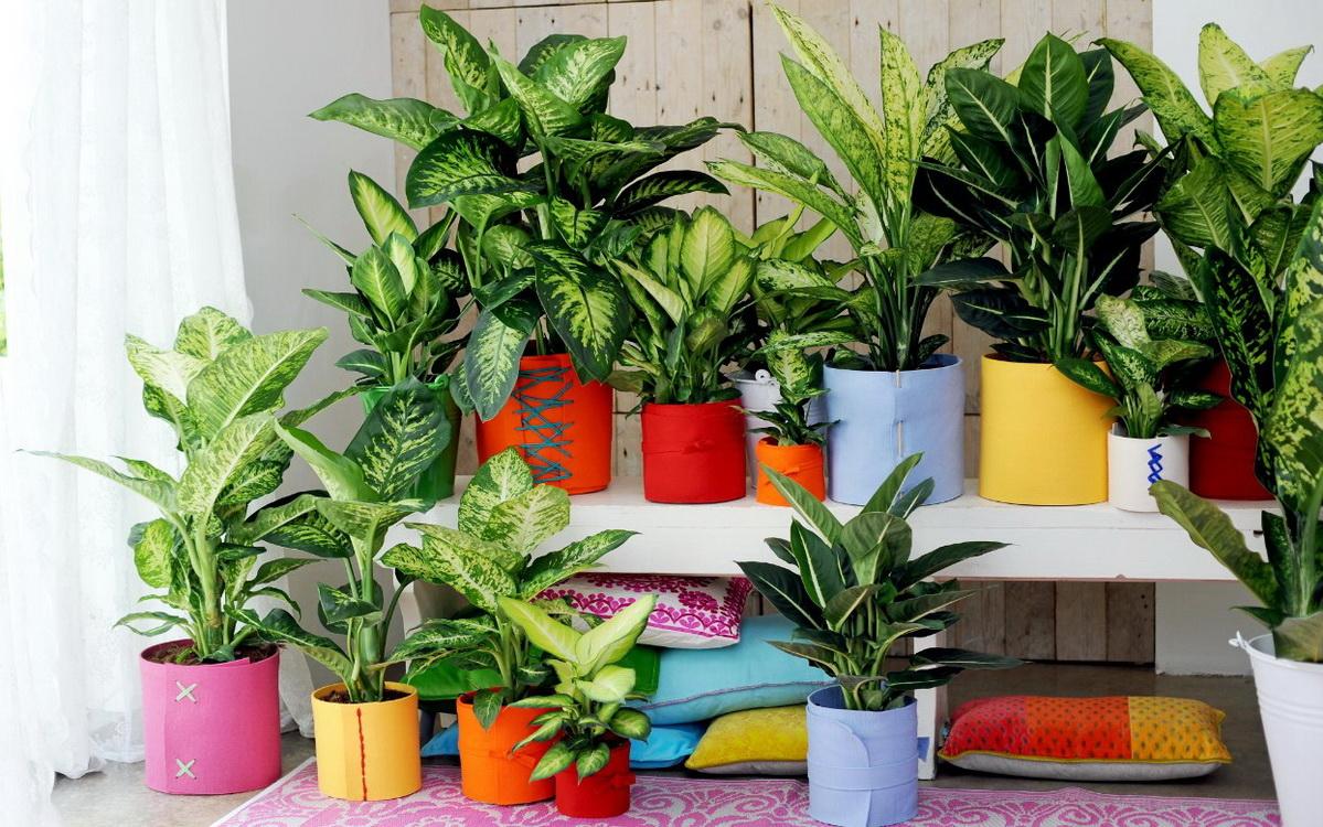 ჭრელფოთოლა მცენარეები სახლში