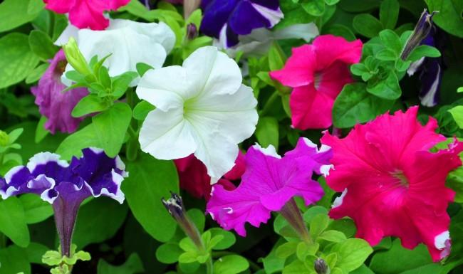 როგორი პეტუნია შეგეფერებათ: სწორად შეარჩიეთ ყვავილი