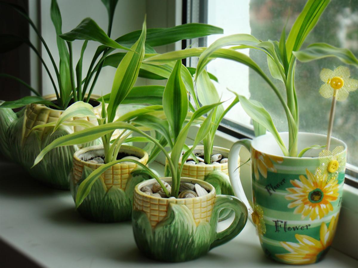ვებრძვით ქინქლებს ოთახის მცენარეებზე