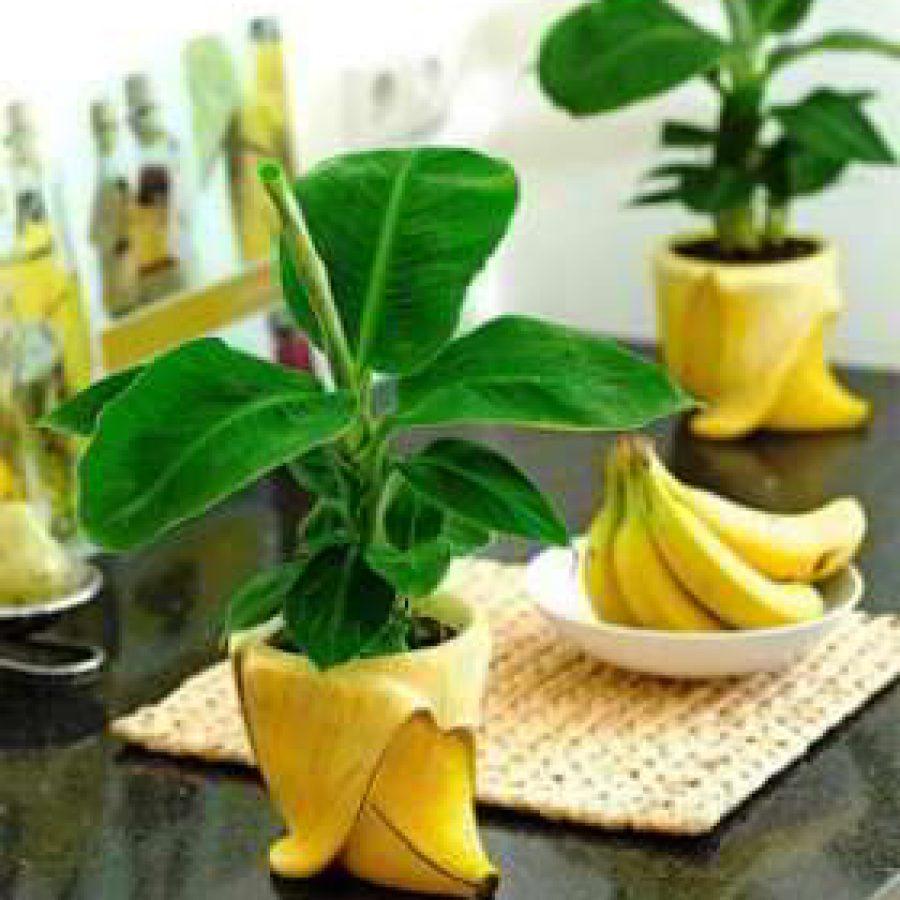ბანანის კანი ოთახის მცენარეებისთვის