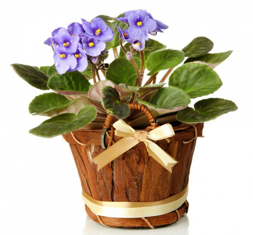 ოთახის ყვავილები საჩუქრად
