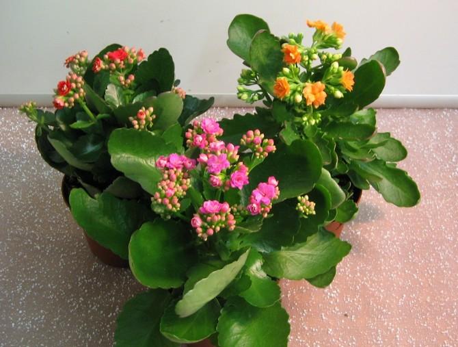 კალანჰოეს ყვავილობისთვის აუცილებელია