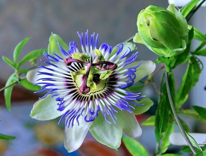 ვნების ყვავილი-პასიფლორა