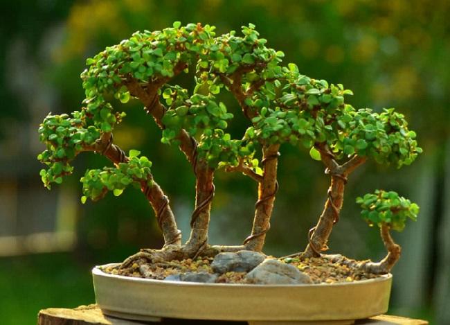 მცენარის ვარჯის ფორმირება