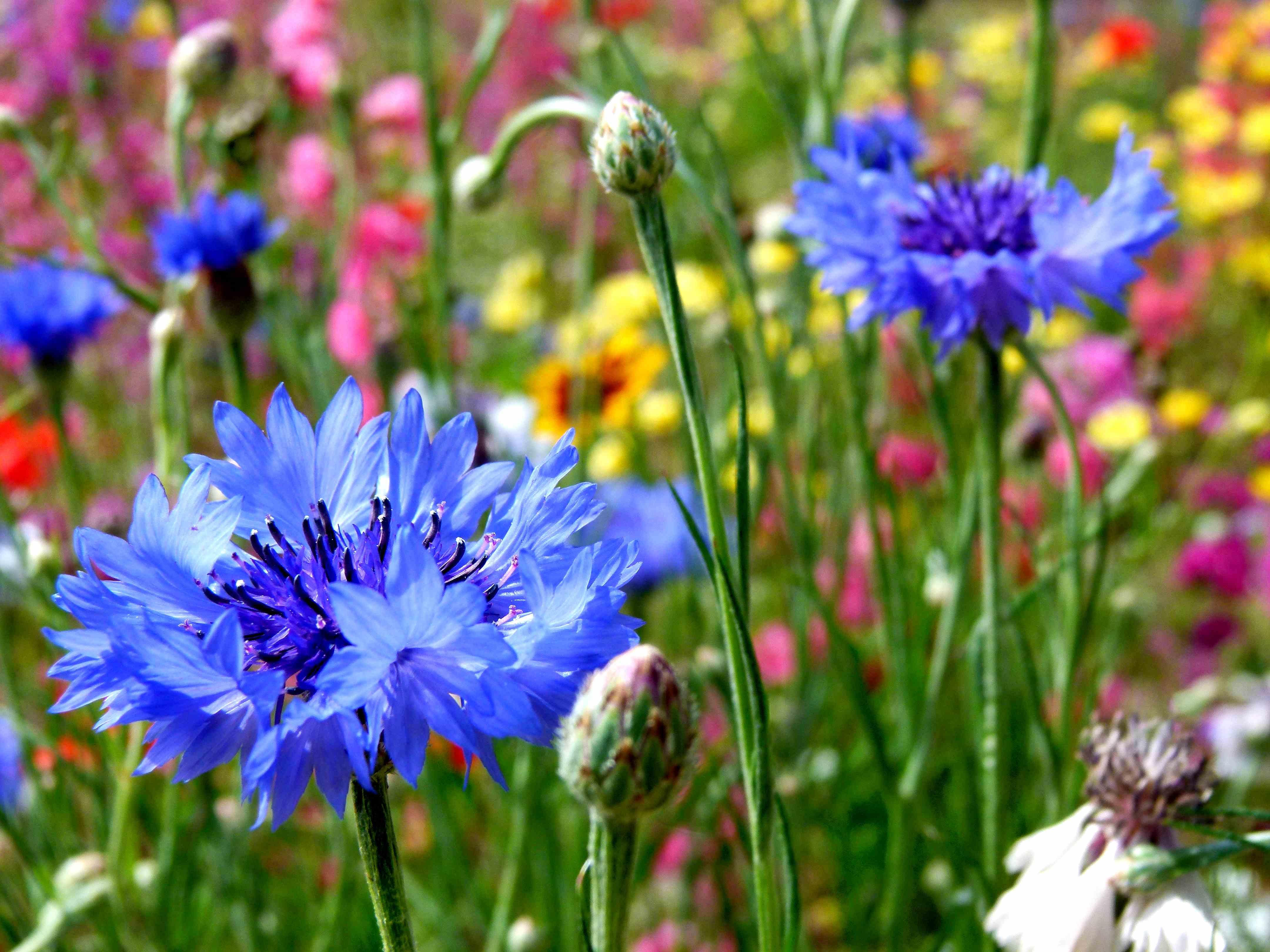 ბაღის ღიღილო - Centaurea
