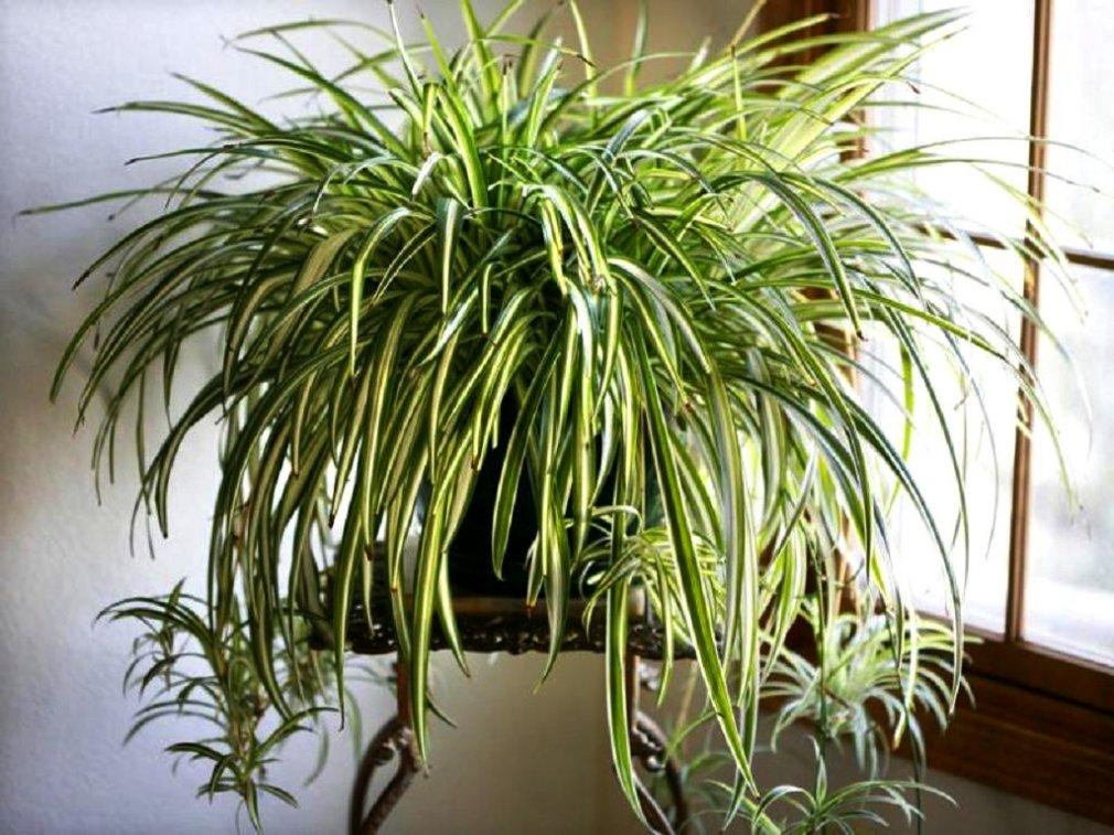ქლოროფიტუმი - ყველაზე უპრეტენზიო ოთახის მცენარე