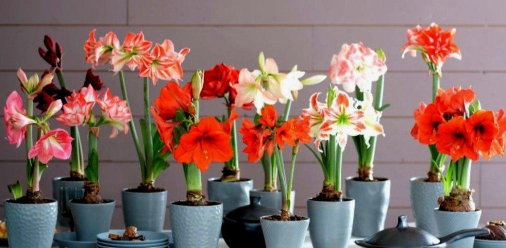 ჰიპეასტრუმის ყვავილობა ზაფხულში