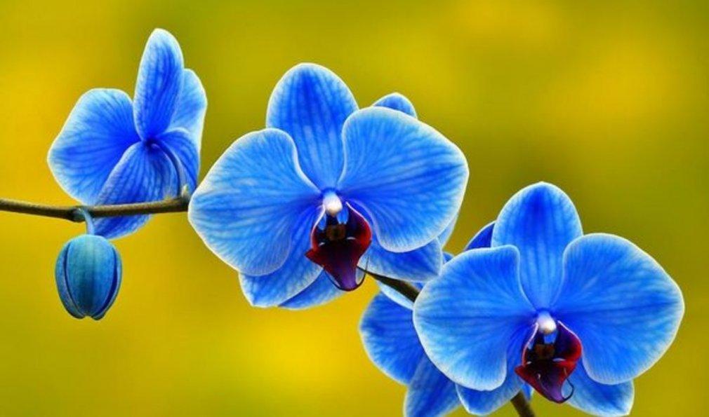 ცისფერი და ლურჯი ორქიდეები