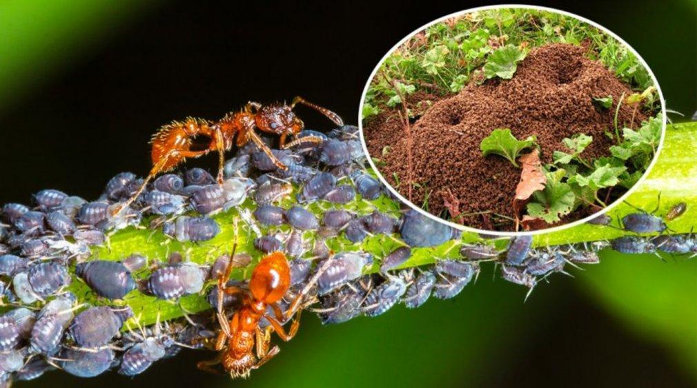ვებრძვით ჭიანჭველებს ეზოსა და სახლში