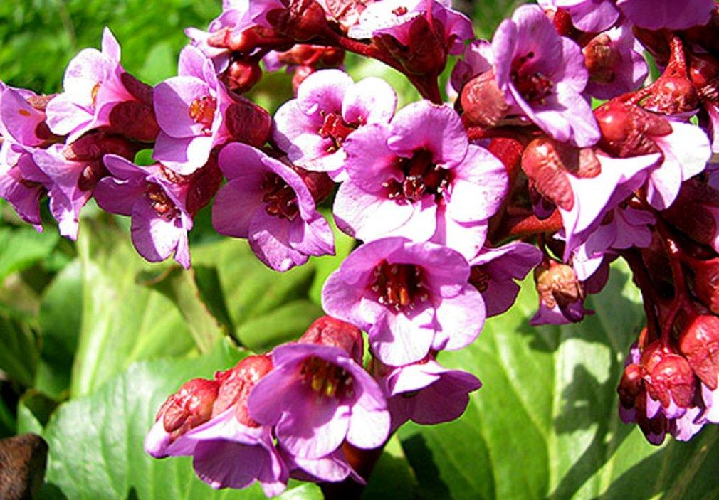 ჩაგირი - საოცარი მცენარე (Bergenia)