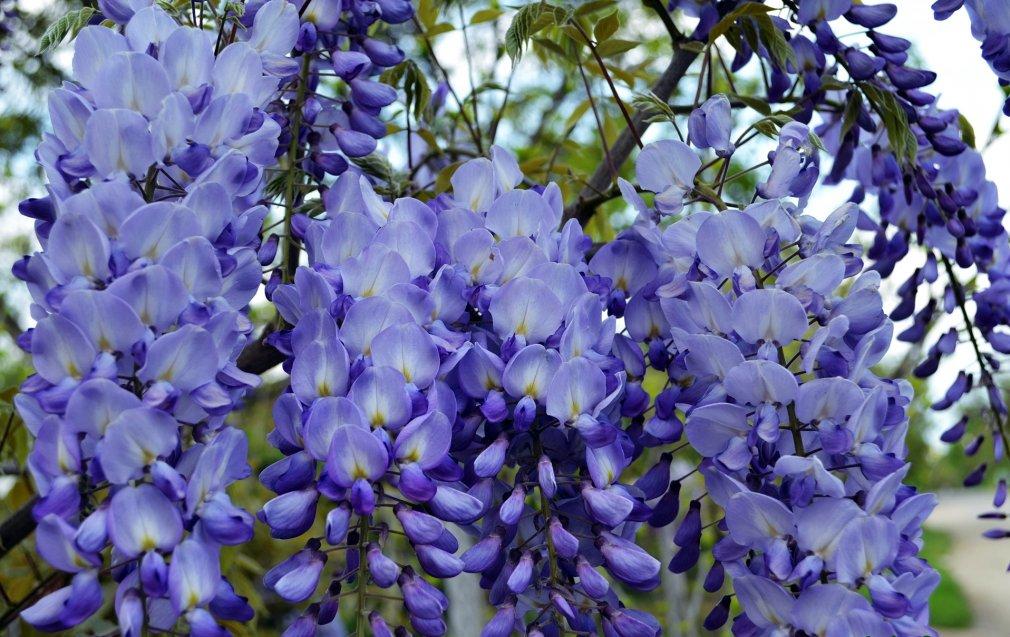 ცის-ვაზი ღია გრუნტში (Glicinia Wisteria)