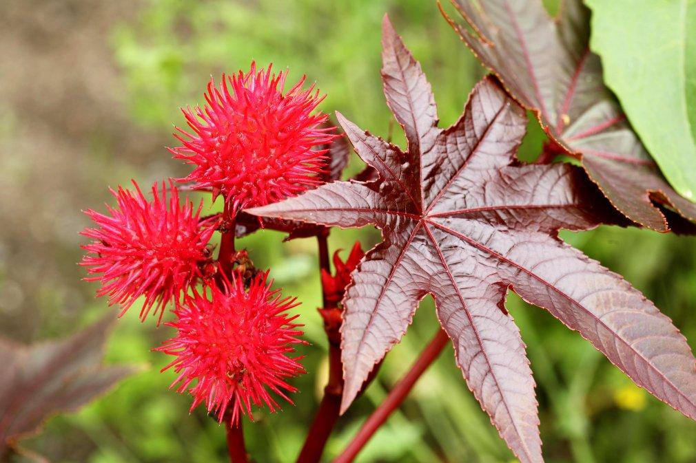 აბუსალათინი - მცენარე, რომელსაც არ სჭირდება მოვლა ( Rícinus)