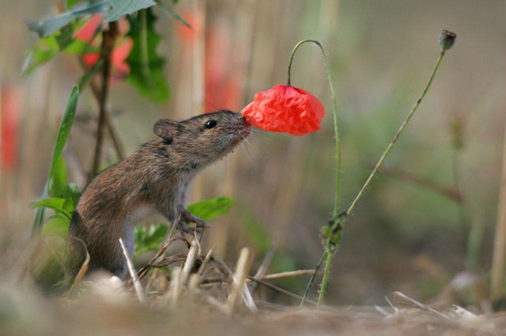 მცენარეები თაგვების წინააღმდეგ