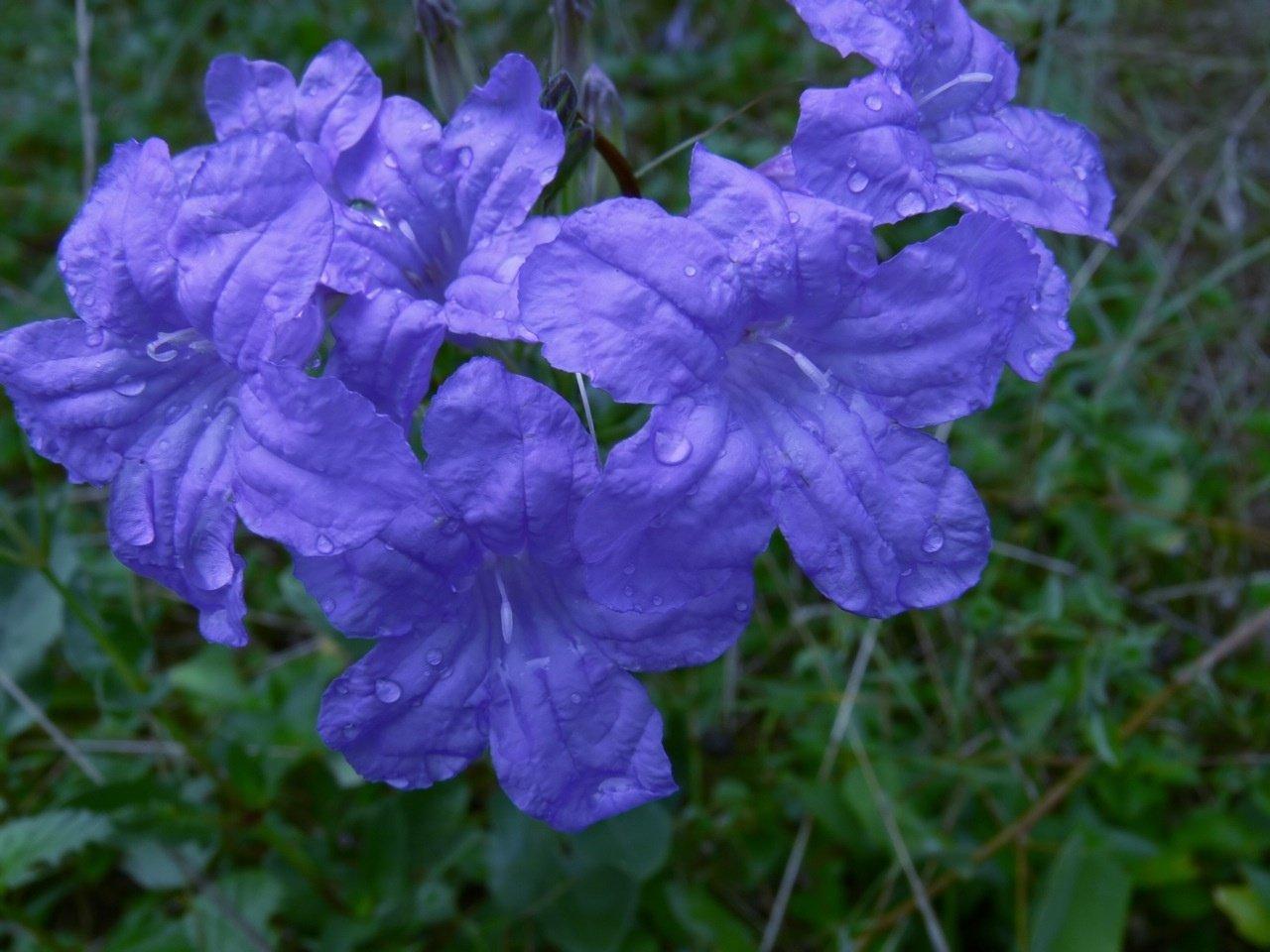 რუელია სახლში ულამაზესი მცენარეა