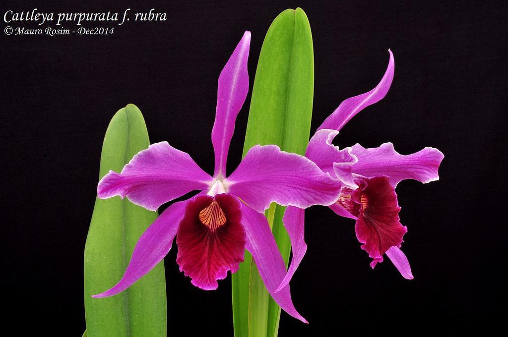 კატლეა პურპურატა  Cattleya Purpurata