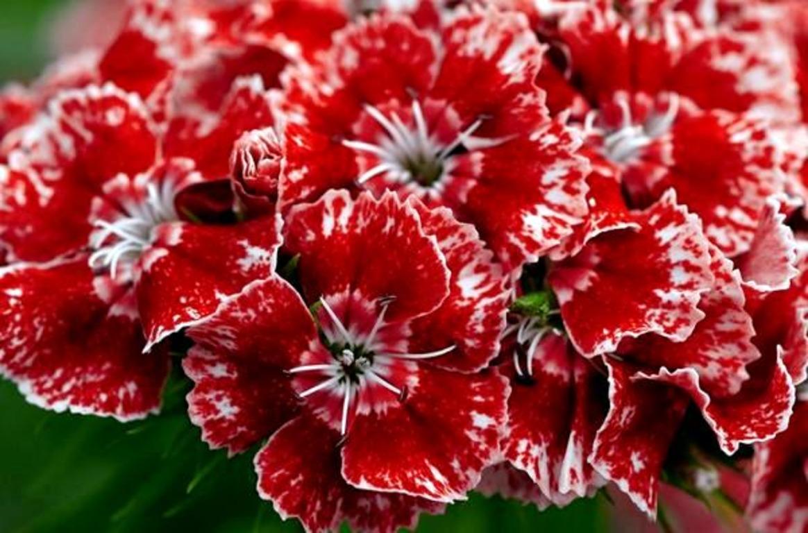 მიხაკი - ზევსის ყვავილი