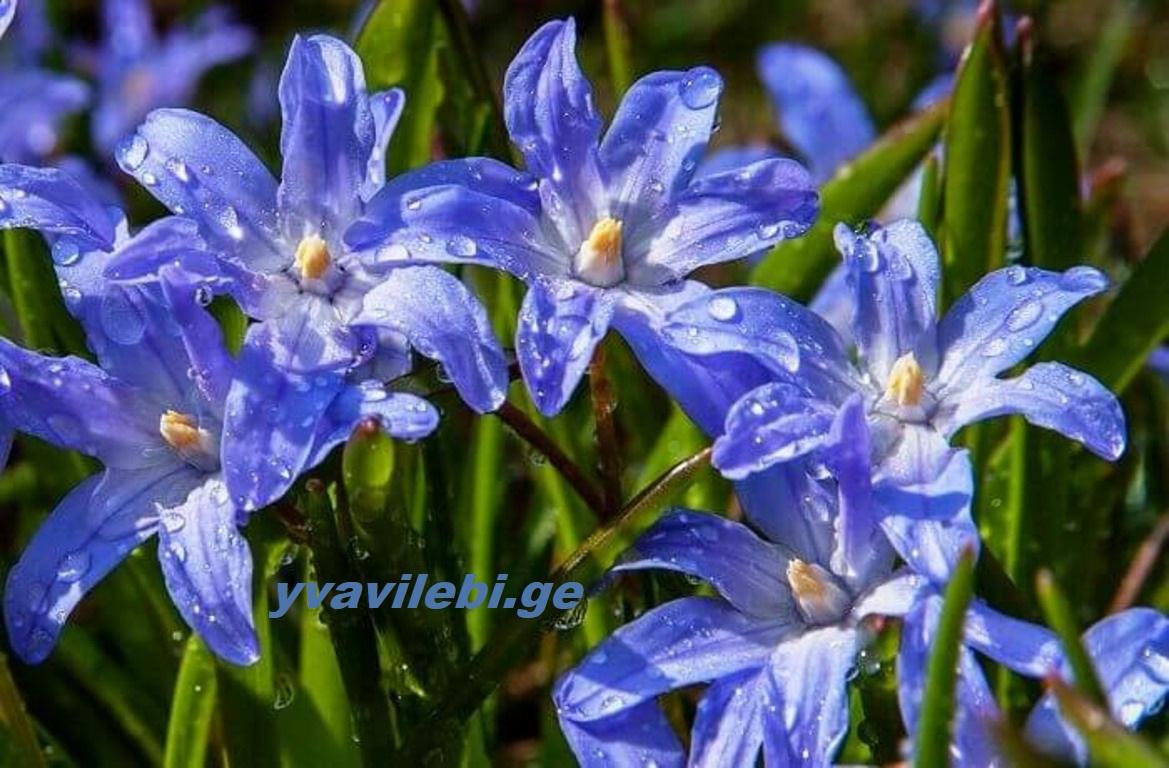 ცისთვალა-scilla ღია გრუნტში ის მრავალწლიანი ბოლქვიანი მცენარეა
