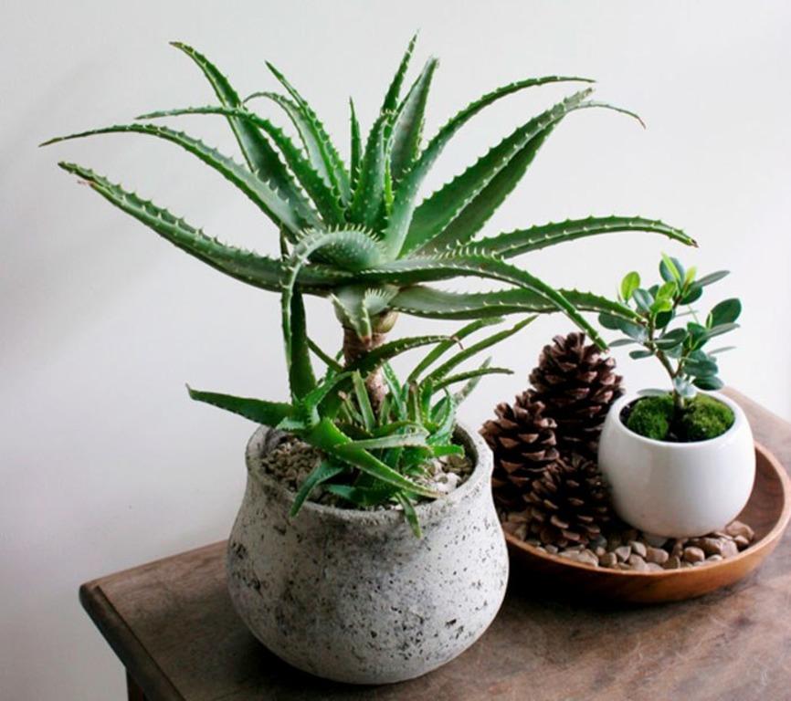 ალოე მრავალწლიანი ბალახოვანი მცენარეა