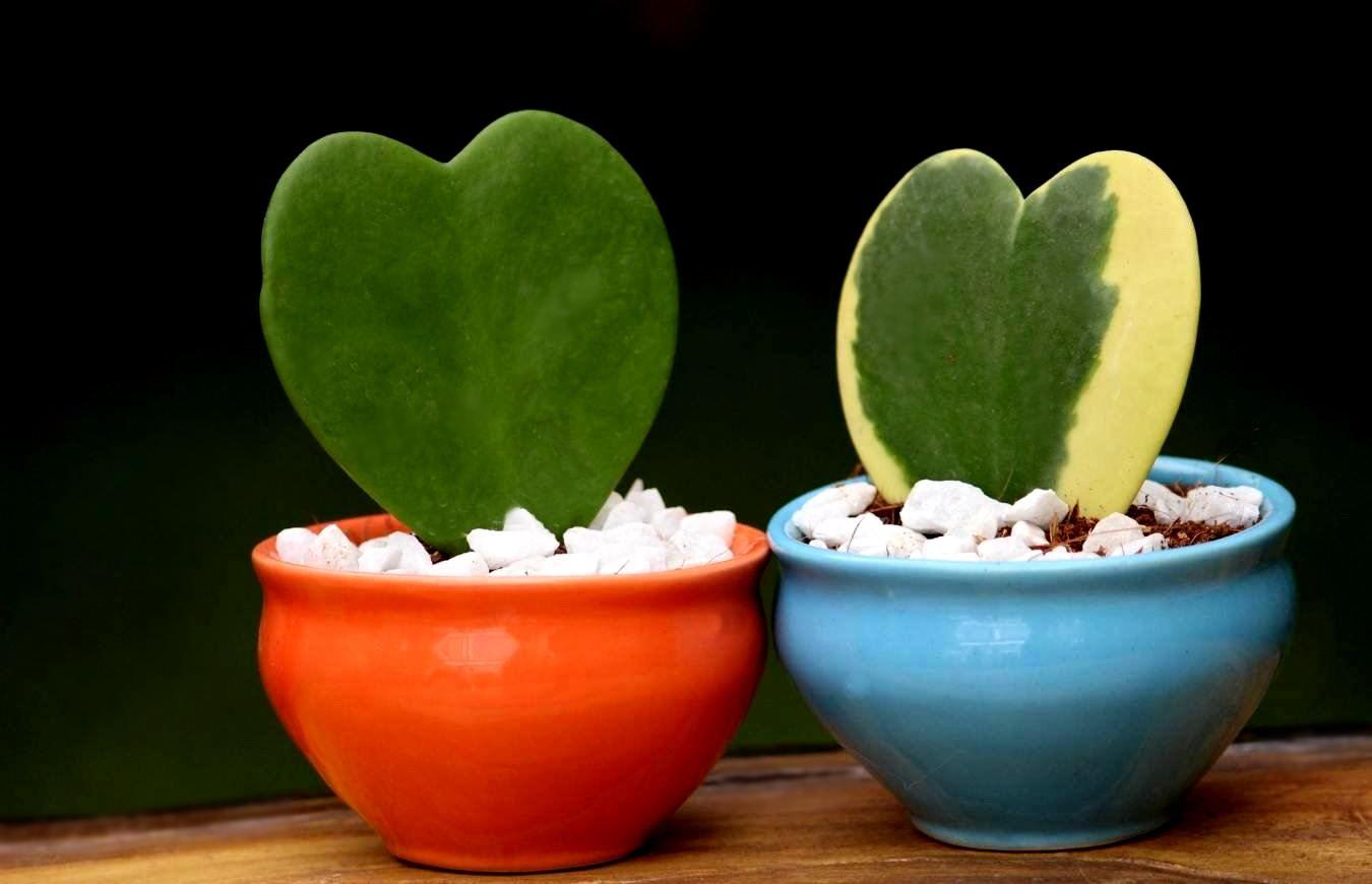 ჰოია კერი ყველაზე რომანტიკულ მცენარედ გვევლინება