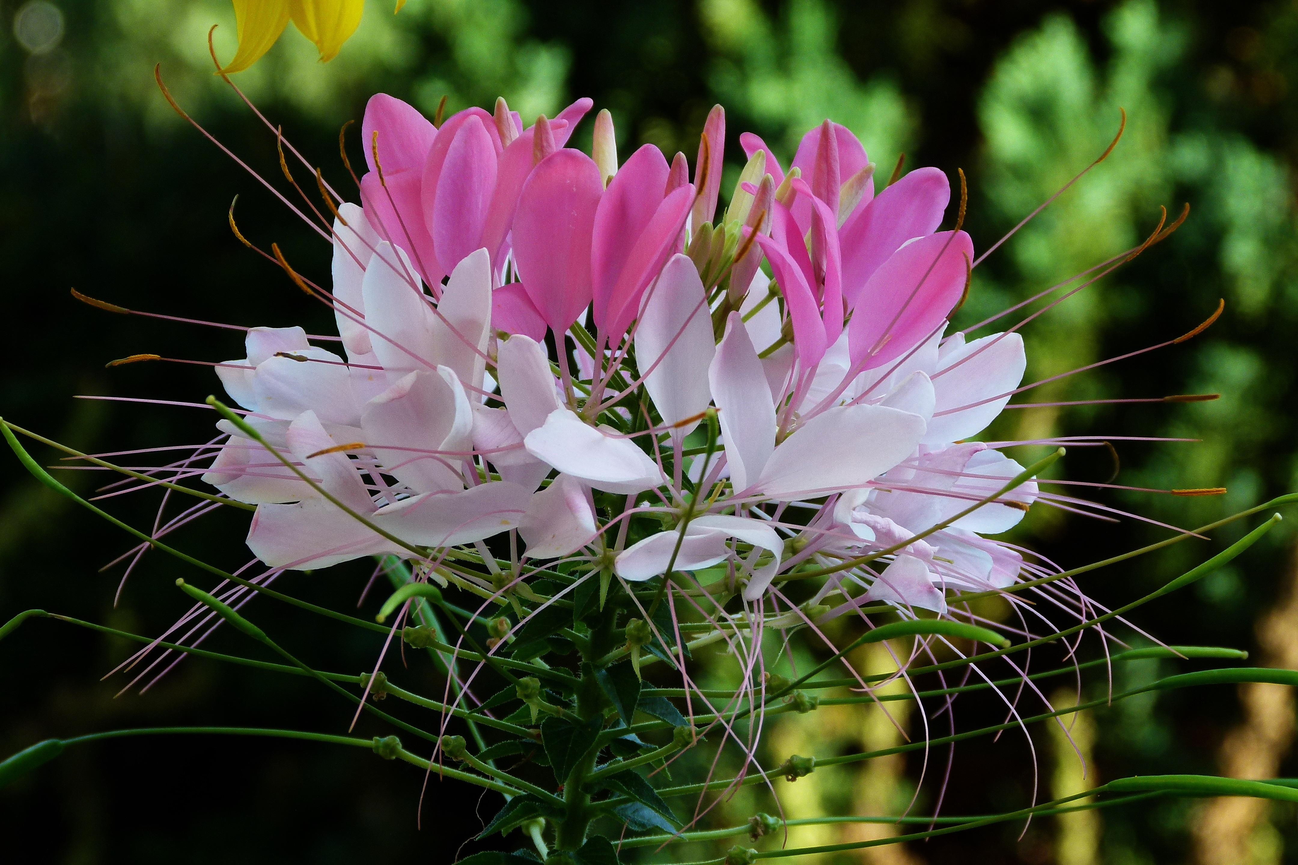 შამპანურის შხეფები თუ ყვავილი ობობა (კლეომა, Cleome)