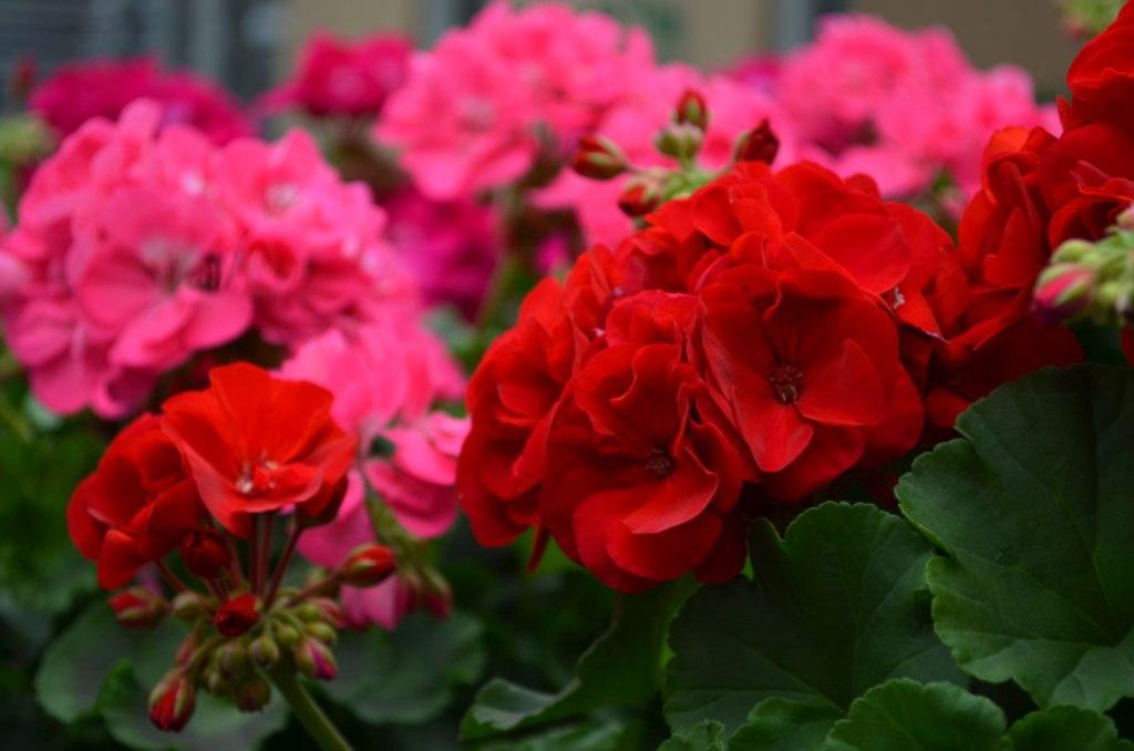 როგორ ისხვლება გერანი უხვი ყვავილობისათვის