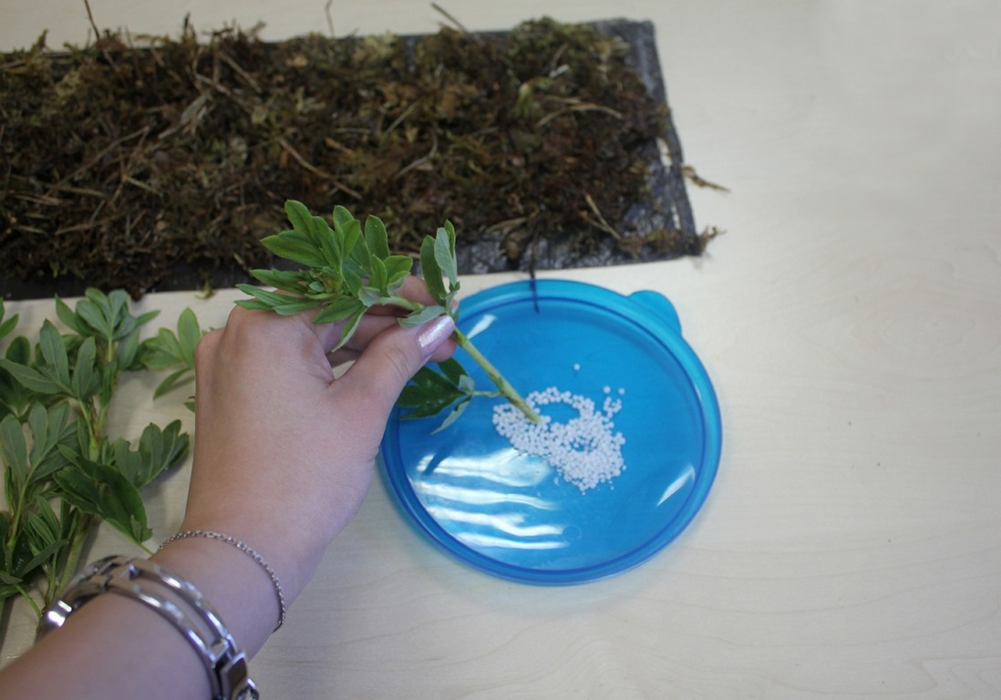 როგორ დავაფესვიანოთ დეკორატიული მცენარეების კალმები სფაგნუმში