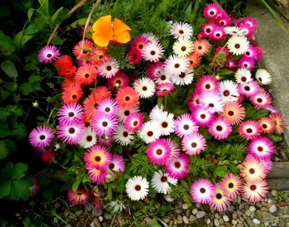 ბროლის ბალახი Mesembryanthemum crystalinum