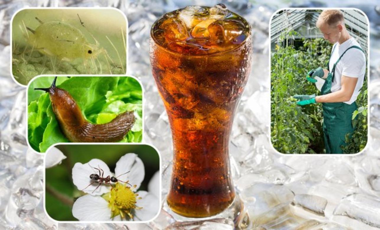 მცენარეების დასახმარებლად კოკა-კოლას გამოყენების უჩვეულო მეთოდები