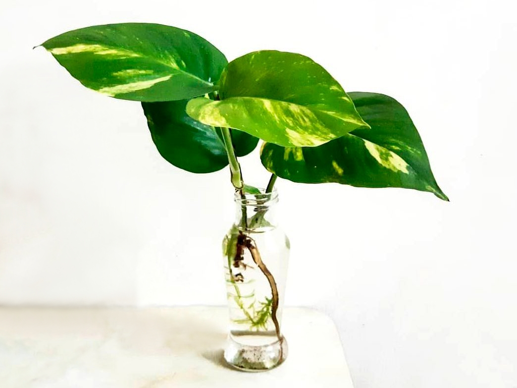 ოთახის მცენარეების დაკალმების თავისებურებები