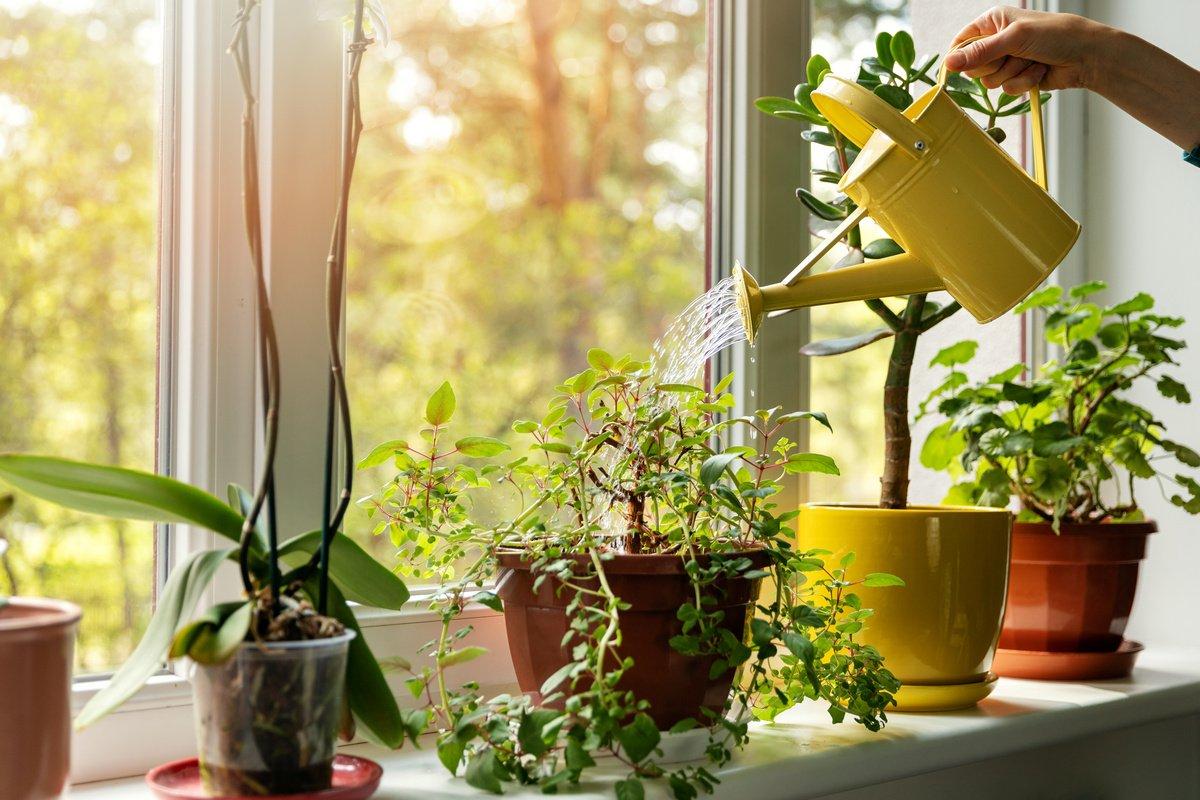 ოთახის მცენარეების მორწყვის ათი მთავარი წესი