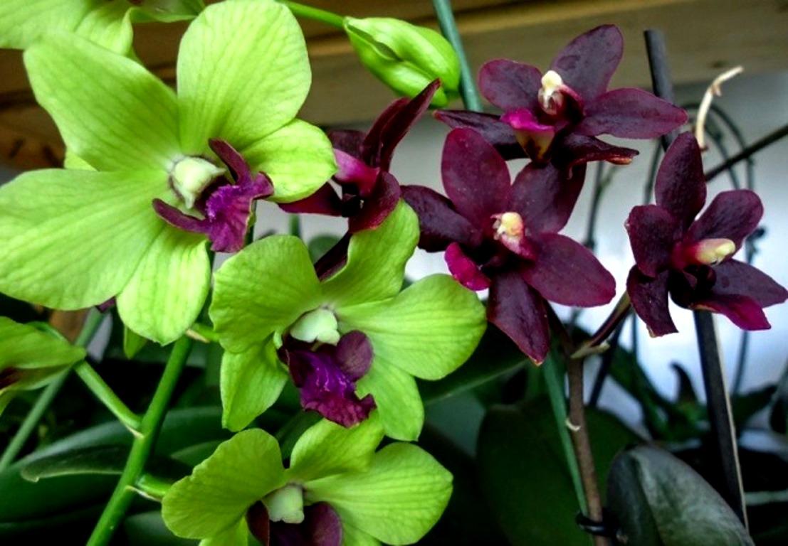 დენდრობიუმ ფალენოფსისი (Dendrobium phalaenopsis)