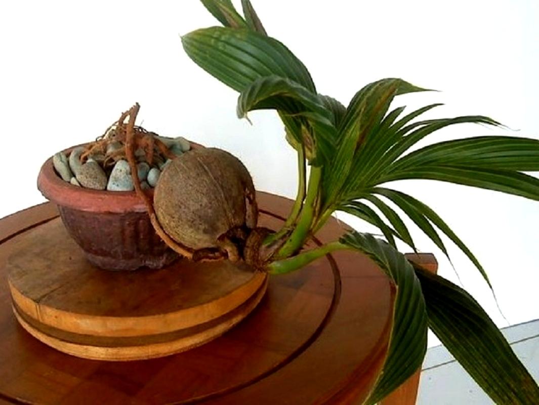 ქოქოსის პალმა (Cocos nucifera)