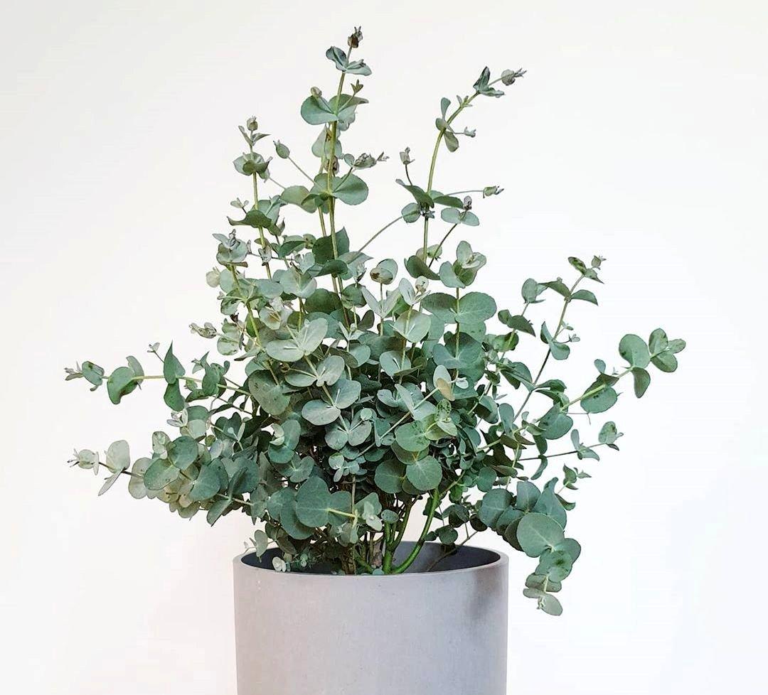 დეკორატიული ევკალიპტი (Eucalyptus)