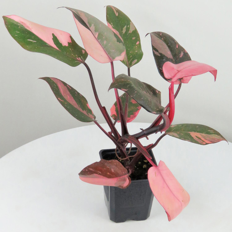 """ფილოდენდრონი """"ვარდისფერი პრინცესა"""" (Philodendron Pink Princess)"""