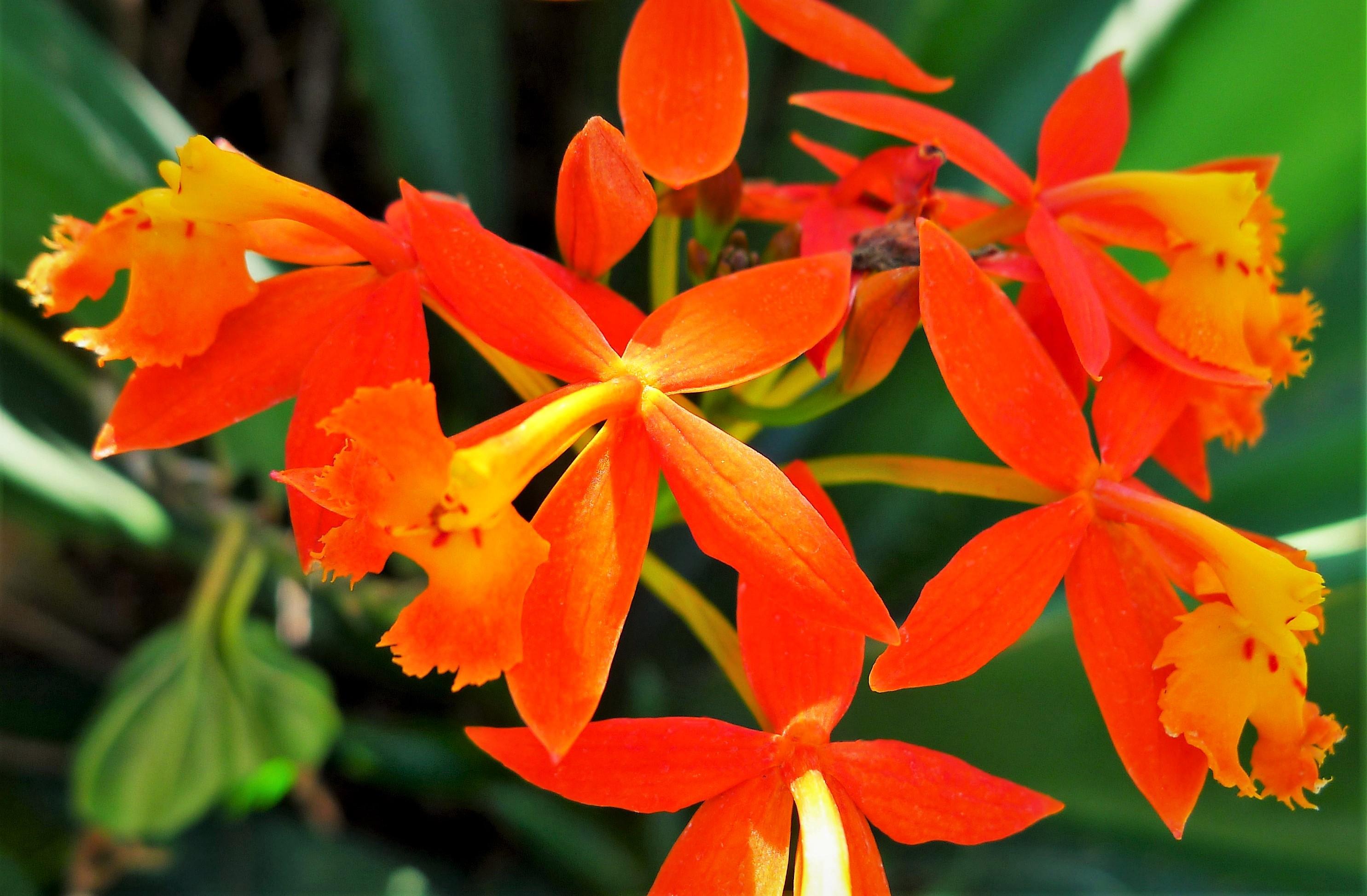 ეპიდენდრუმი (Epidendrum) ორქიდეა