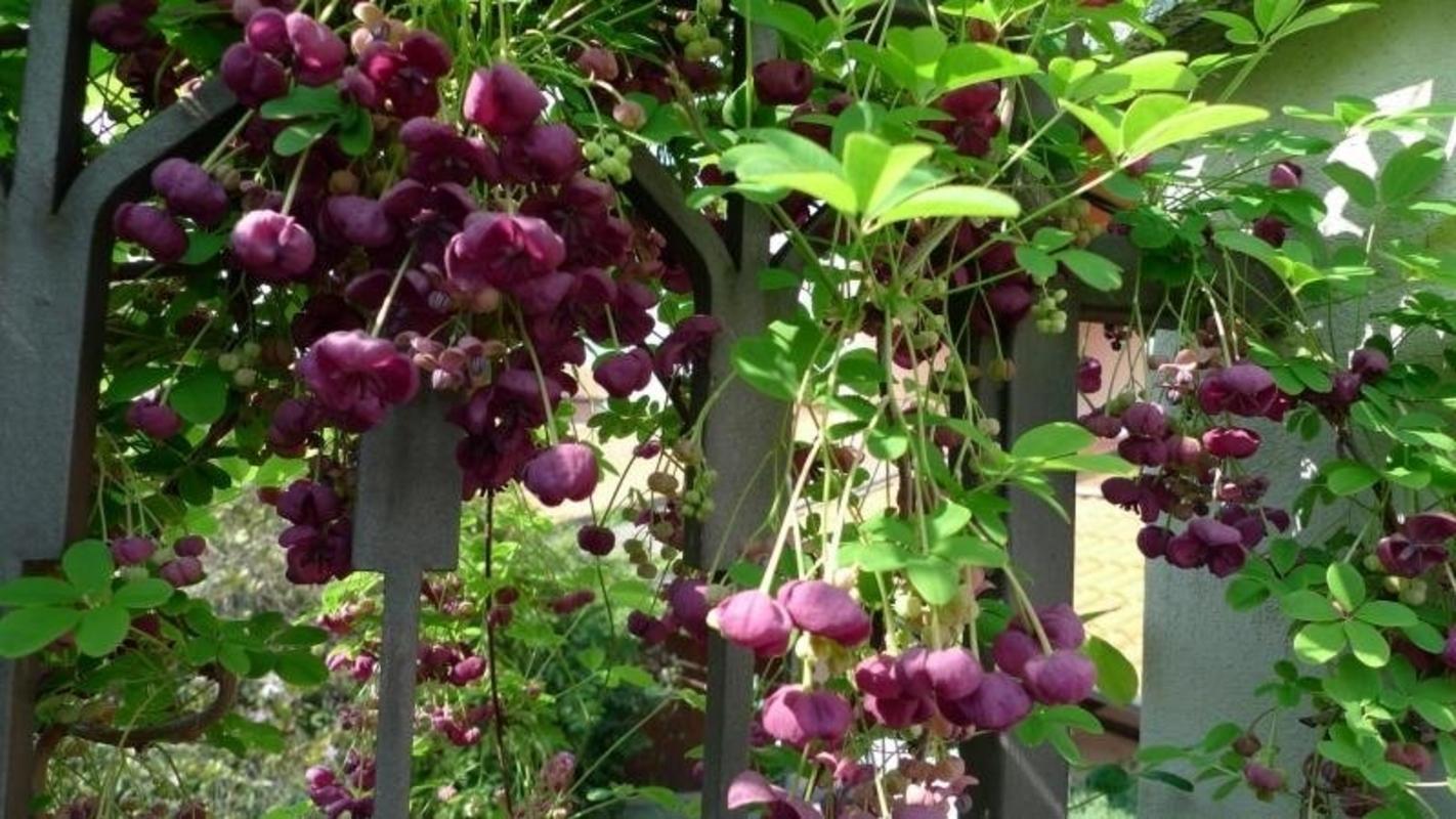 აკებია (Acebia) შოკოლადის ვაზი